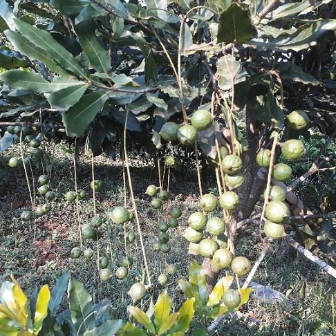 Theo ông Văn, hạt mắc ca ăn rất ngon và bổ dưỡng. Cũng vì hạt mắc ca có chứa nhiều chất dinh dưỡng quý nên được mệnh danh là nữ hoàng quả khô.
