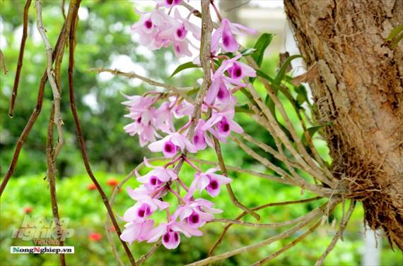 Tháng 6 cũng là dịp vườn lan Phi điệp nở rực rỡ nhất.