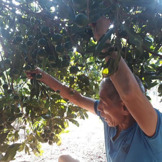 Nhiều cây mắc ca nhà ông Văn đã cho thu hoạch, ra quả sai như sung.