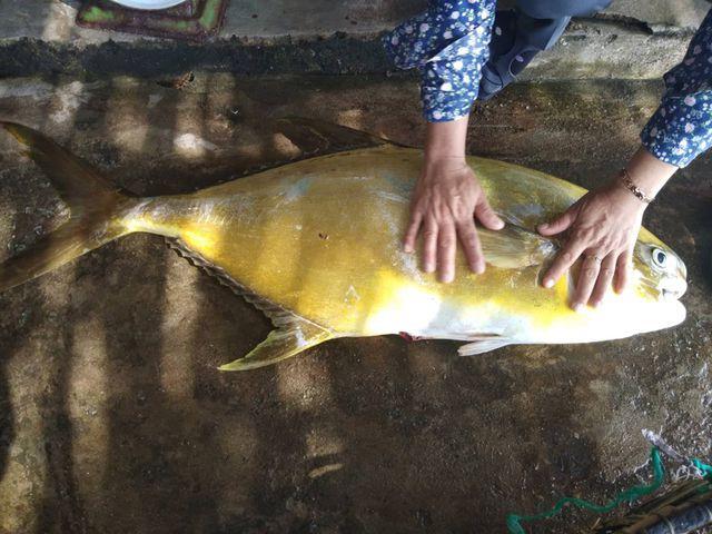 Do giá cao, có thể kiếm hàng triệu đồng/ngày nếu trúng mẻ lưới cá vàng dương, nên những ngày qua ngư dân Kỳ Xuân, Kỳ Phú (huyện Kỳ Anh) tích cực ra khơi săn loại cá này.
