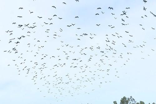 Đàn chim cả nghìn con ở cánh đồng xã Cam Thanh (Cam Lộ, Quảng Trị). Ảnh: Hoàng Táo
