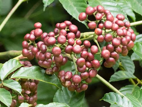 Củ rối Ấn (Leea indica) có thể chống lại nhiều bệnh ung thư. Ảnh: waarmedia.
