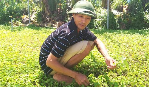 Kiếm bộn tiền nhờ trồng rau má trên bờ ao tôm - Ảnh 1.