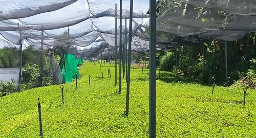 Kiếm bộn tiền nhờ trồng rau má trên bờ ao tôm - Ảnh 2.