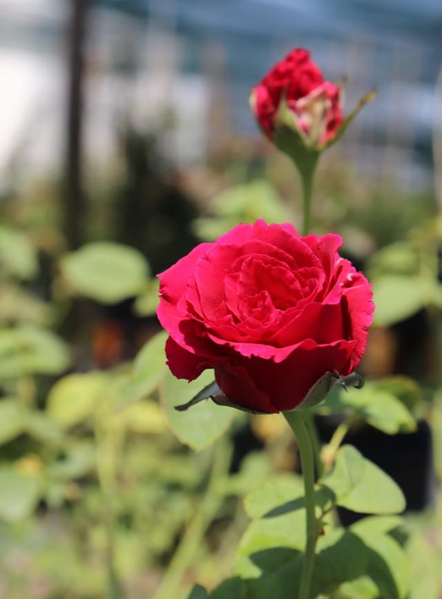Những loài hoa tài lộc, may mắn đắt hàng nhất mùa Vu lan - Ảnh 7.