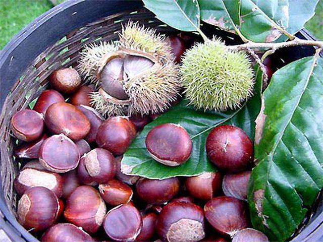 Hạt dẻ - vua của loài quả khô phòng nhiều bệnh - Ảnh 1.