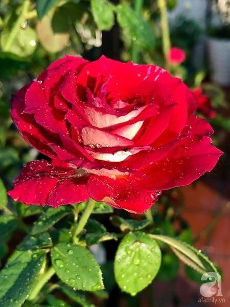 Sân thượng hoa hồng đẹp mộng mơ như trong cổ tích của cô giáo dạy Văn ở thành phố biển Nha Trang - Ảnh 43.