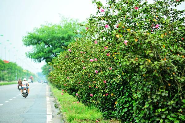 Hà Nội: Độc đáo con đường được phủ màu hồng bởi hoa dâm bụt - Ảnh 1.