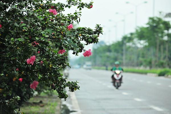 Hà Nội: Độc đáo con đường được phủ màu hồng bởi hoa dâm bụt - Ảnh 6.