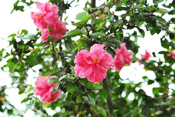 Hà Nội: Độc đáo con đường được phủ màu hồng bởi hoa dâm bụt - Ảnh 2.