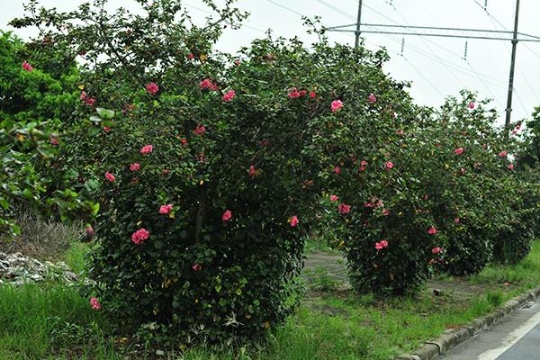 Hà Nội: Độc đáo con đường được phủ màu hồng bởi hoa dâm bụt - Ảnh 5.