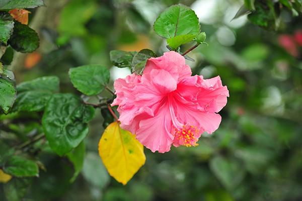 Hà Nội: Độc đáo con đường được phủ màu hồng bởi hoa dâm bụt - Ảnh 4.