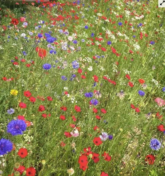 Người đàn ông biến bãi cỏ trước nhà thành cánh đồng hoa  - Ảnh 7.
