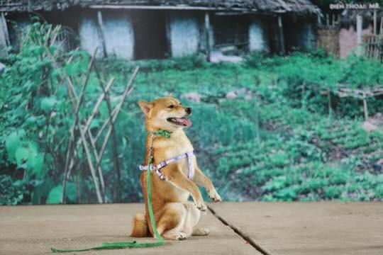 Vì sao chú chó Shiba được lựa chọn vào vai nhân vật ám ảnh nhiều thế hệ học sinh Việt Nam? - Ảnh 3.