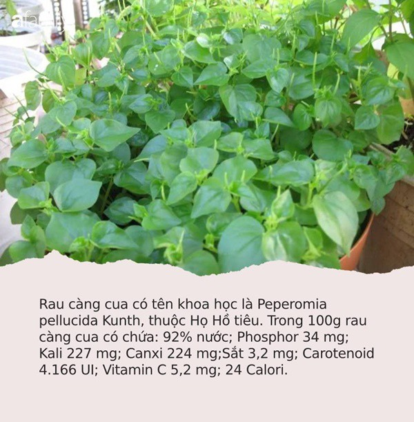 Có loại rau đắt hơn thịt, châu Âu, Trung Quốc tôn thảo dược quý chữa bệnh cực tốt, người Việt chỉ coi là cỏ dại - Ảnh 1.