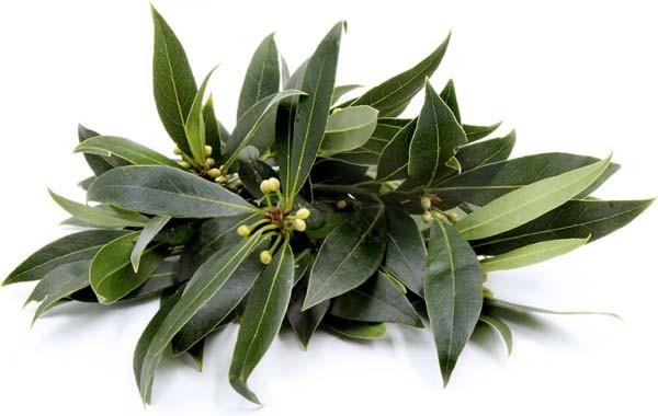 Mùi hương ở loại lá này có tác dụng đuổi gián hiệu quả gấp 100 lần hóa chất diệt côn trùng - Ảnh 4.