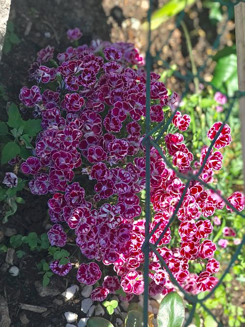 Cặp vợ chồng biến sân bê tông thành vườn hoa - Ảnh 3.