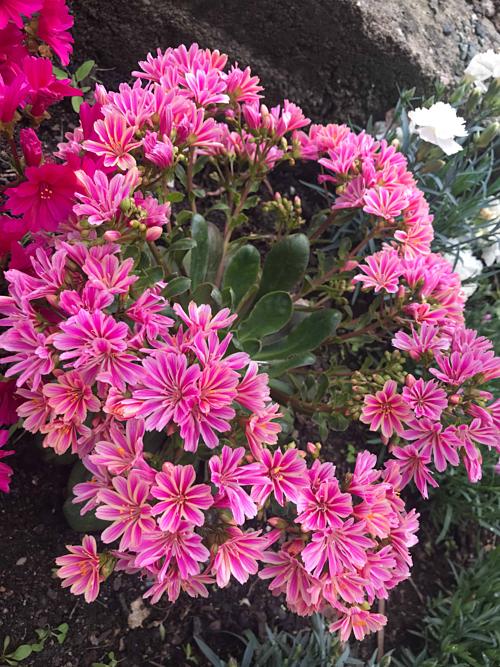 Cặp vợ chồng biến sân bê tông thành vườn hoa - Ảnh 5.