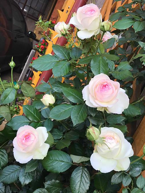 Cặp vợ chồng biến sân bê tông thành vườn hoa - Ảnh 6.