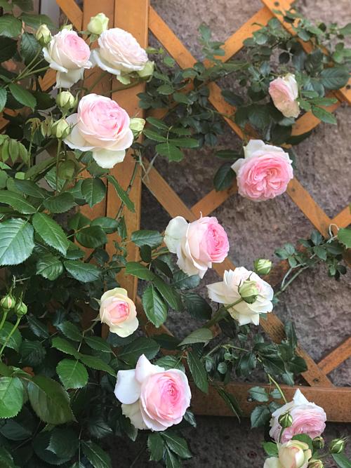 Cặp vợ chồng biến sân bê tông thành vườn hoa - Ảnh 7.