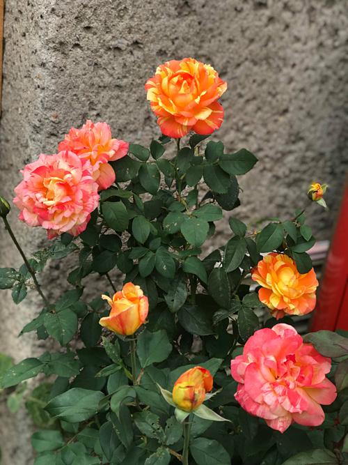 Cặp vợ chồng biến sân bê tông thành vườn hoa - Ảnh 8.