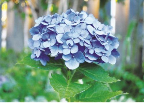 5 loại hoa Tết đẹp nhưng cực độc, cần cảnh giác cao độ - Ảnh 2.