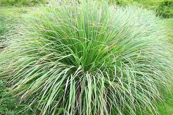 Không cần dùng thuốc xịt độc hại, đám côn trùng sẽ chẳng dám bén mảng vào nhà nếu trồng 5 loài cây này quanh nhà - Ảnh 5.
