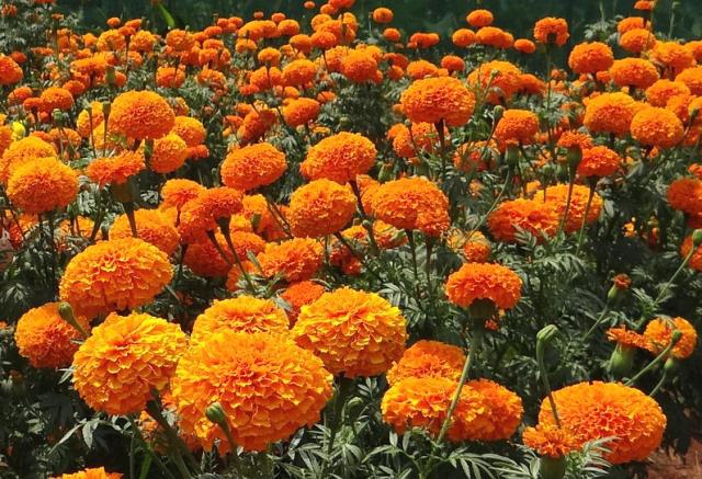 Không cần dùng thuốc xịt độc hại, đám côn trùng sẽ chẳng dám bén mảng vào nhà nếu trồng 5 loài cây này quanh nhà - Ảnh 6.