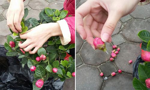 Đủ chiêu thức lừa đảo bán các loại cây hoa chưng Tết: Người tiêu dùng ba đầu sáu tay phòng bị - Ảnh 5.