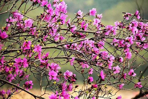 Chị em rần rần mua hoa đỗ quyên ngủ đông về chơi Tết vì quá đẹp mà không hề hay biết nó có thể gây ngộ độc - Ảnh 6.