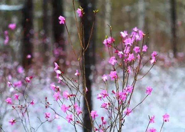 Chị em rần rần mua hoa đỗ quyên ngủ đông về chơi Tết vì quá đẹp mà không hề hay biết nó có thể gây ngộ độc - Ảnh 5.