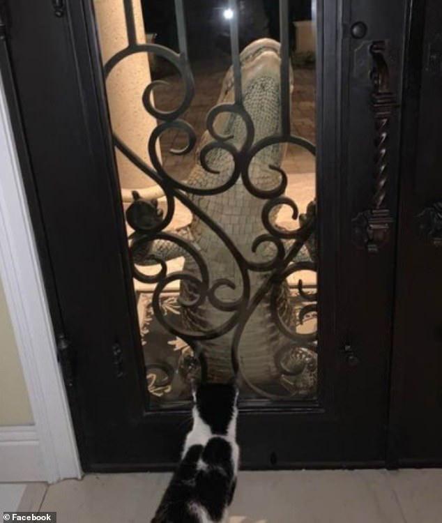 Nghe tiếng động lạ, gia đình hoảng hốt với cảnh tượng con cá sấu đu ngay cửa nhưng thu hút sự chú ý lại là chú mèo cưng trong nhà - Ảnh 2.