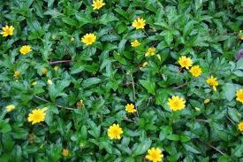 Loài cây trị các bệnh đường hô hấp rất hiệu quả nhưng ít người biết đến - Ảnh 2.