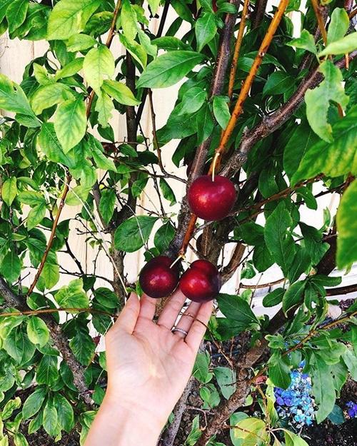 Phạm Hương chăm được một khu vườn trĩu quả bên Mỹ mà bất cứ nông dân thành phố nào cũng phải mê - Ảnh 9.