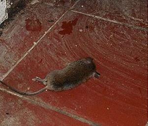 Chuột ra đi không thể trở lại chỉ với 1 vốc xi măng - Ảnh 4.