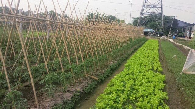 Lo thực phẩm bẩn, nhà giàu Hà Nội đua nhau thuê đất tự trồng rau ăn - Ảnh 2.