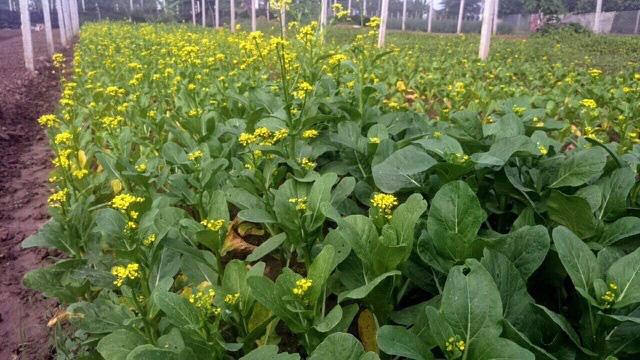 Lo thực phẩm bẩn, nhà giàu Hà Nội đua nhau thuê đất tự trồng rau ăn - Ảnh 3.