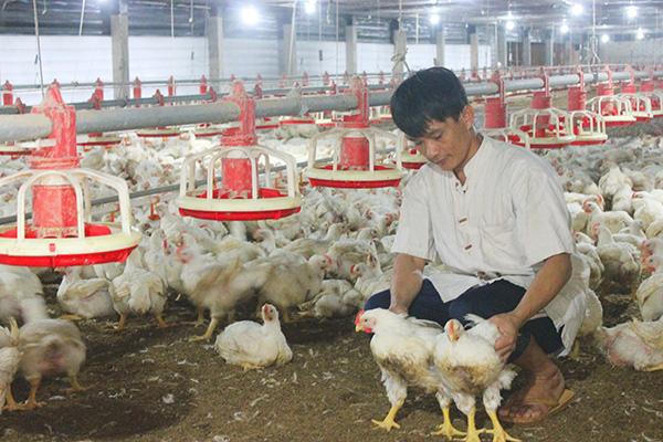 Loại gà thế giới thải bỏ, ở nước ta giá đắt ngang đặc sản - Ảnh 2.