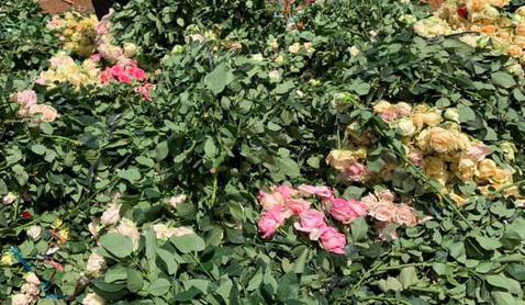 Chuẩn bị hoa bán 8/3: Hoa hồng Đà Lạt chỉ mong bán được 3.000 đồng/bông vì COVID-19 - Ảnh 1.