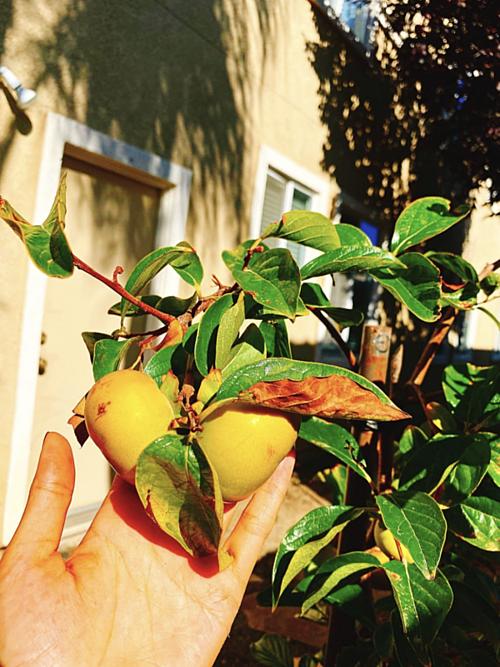 Hoa hậu Phạm Hương khoe thu hoạch trái cây tươi ngon trong vườn nhà ở Mỹ - Ảnh 2.