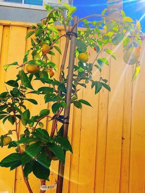 Hoa hậu Phạm Hương khoe thu hoạch trái cây tươi ngon trong vườn nhà ở Mỹ - Ảnh 3.