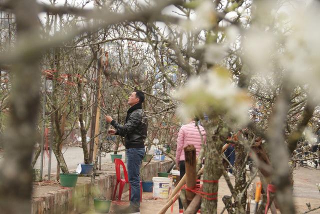 Lạc vào rừng hoa lê giá hàng triệu đồng một cành giữa lòng Hà Nội - Ảnh 5.