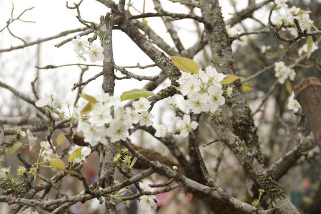 Lạc vào rừng hoa lê giá hàng triệu đồng một cành giữa lòng Hà Nội - Ảnh 6.