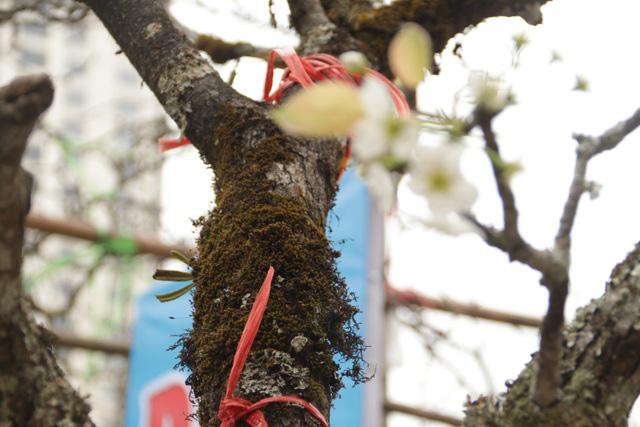 Lạc vào rừng hoa lê giá hàng triệu đồng một cành giữa lòng Hà Nội - Ảnh 7.