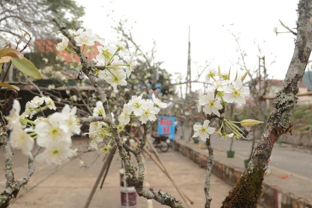 Lạc vào rừng hoa lê giá hàng triệu đồng một cành giữa lòng Hà Nội - Ảnh 8.