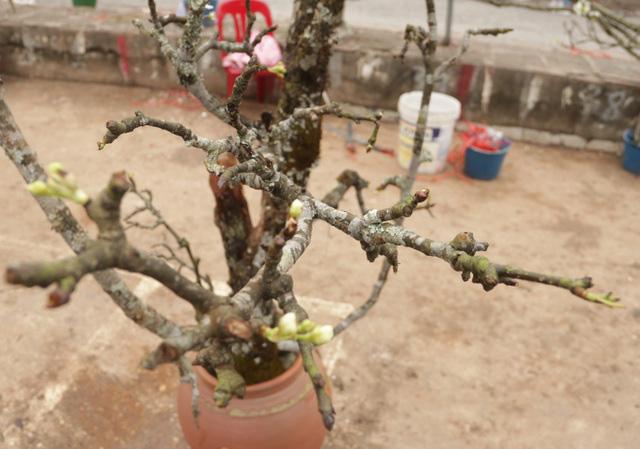 Lạc vào rừng hoa lê giá hàng triệu đồng một cành giữa lòng Hà Nội - Ảnh 9.
