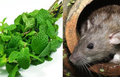 Chuột không dám bén mảng chỉ bằng việc trồng thứ cây mà ai cũng thích này trong nhà - Ảnh 1.