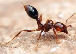 Tiêu diệt cả đàn kiến nhờ một ít hàn the, khó tin nhưng có thật - Ảnh 2.