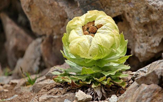 Loài hoa sen 7 năm nở một lần, giá 5 triệu đồng/bông nhưng dân Việt vẫn lùng mua vì tác dụng tăng cường sinh lực - Ảnh 6.