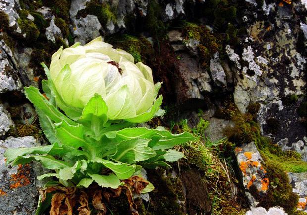 Loài hoa sen 7 năm nở một lần, giá 5 triệu đồng/bông nhưng dân Việt vẫn lùng mua vì tác dụng tăng cường sinh lực - Ảnh 4.